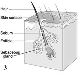 Pilosebaceous Hair Unit
